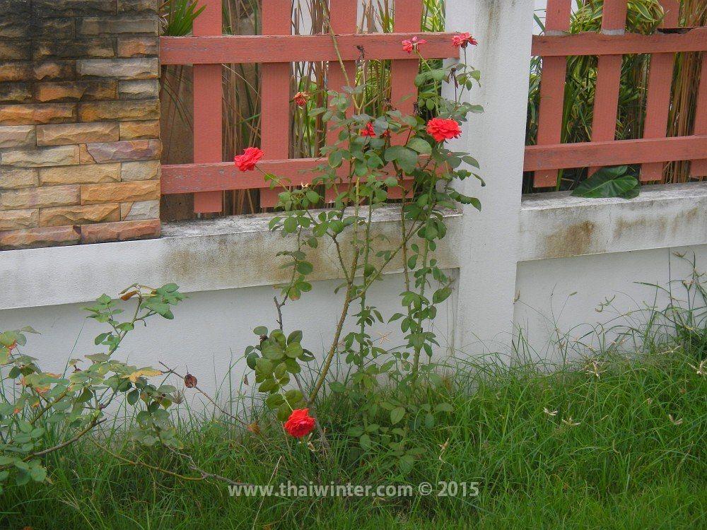 У нас растут розы возле дома, поселок Phutowan