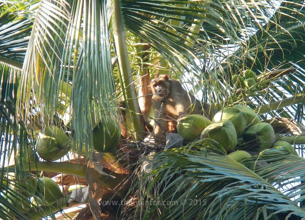 Тайские молодые кокосы
