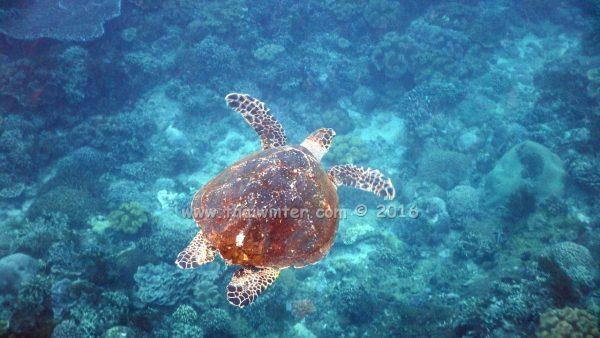 Черепаха на БАли